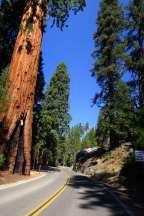 sequoia11