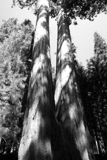 sequoia17